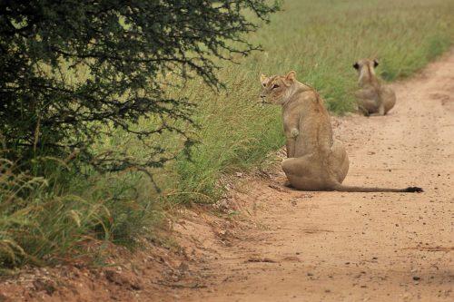 Jagende Löwen