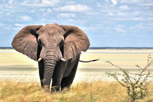 Elefant in der Etosha