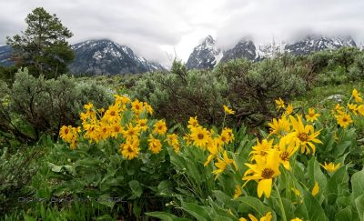 Blumen am Grand Teton