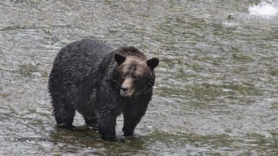 Grizzly am Fish Creek