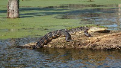 Alligator auf Baum