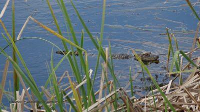 Erster Alligator