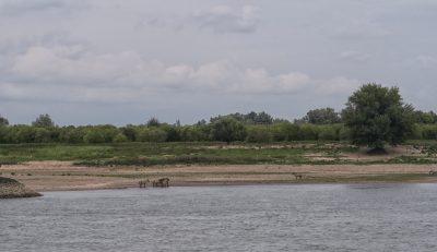 Wildpferde am Rhein