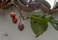 Unbekannte Frucht