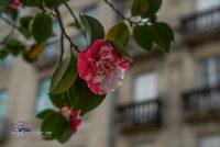 Winterrose