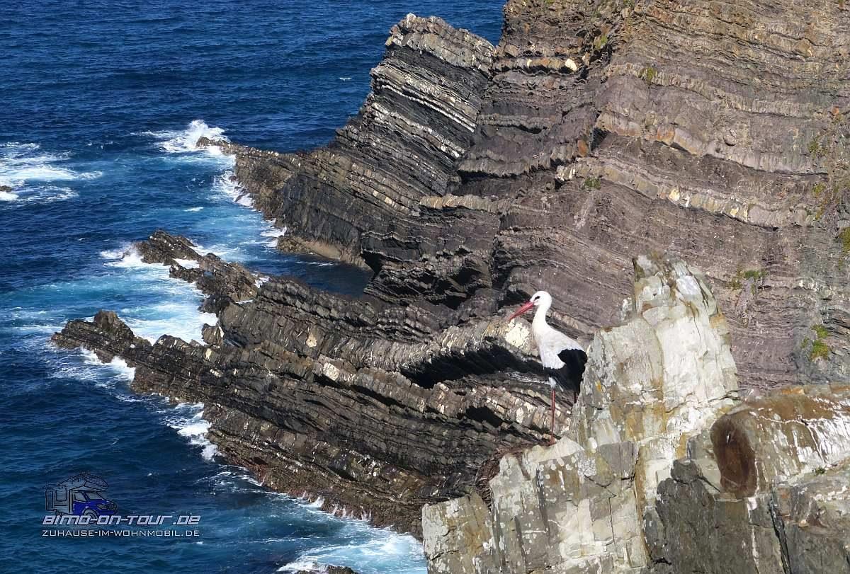Cabo Sardao-Störche in den Klippen