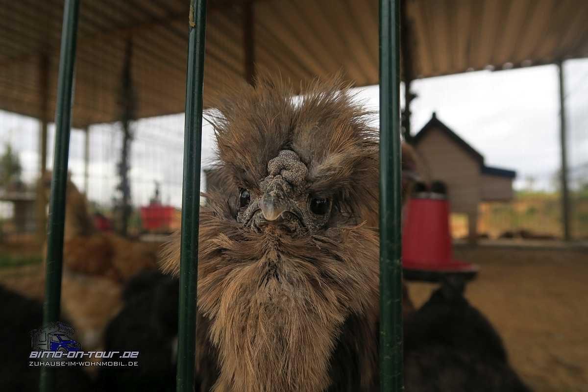 Mikki`s Place-Wollhühnerer