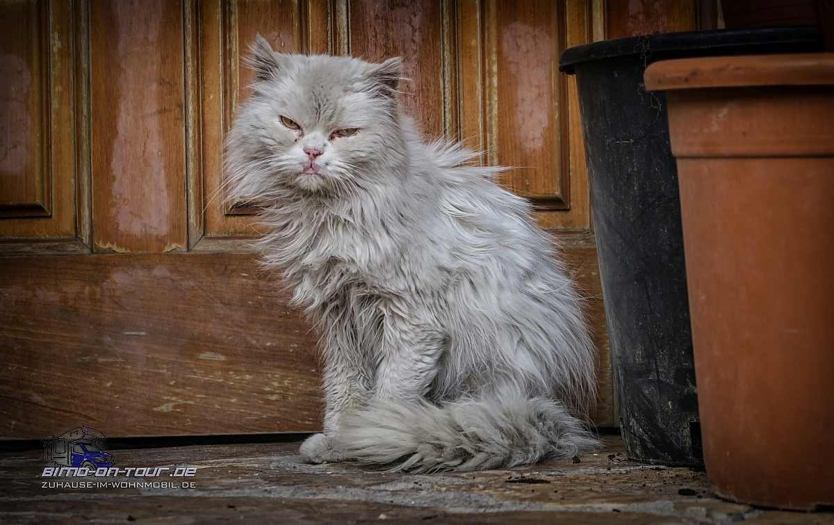 Chinschilla-Katze