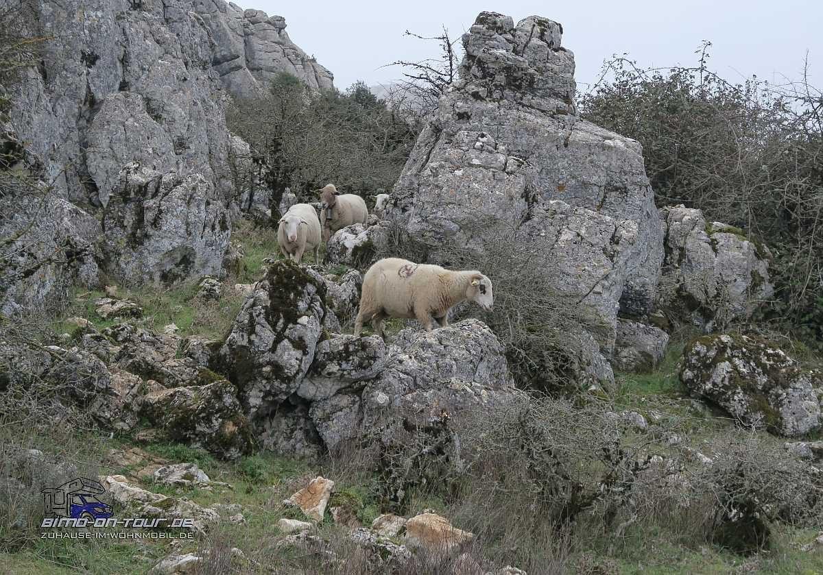 El Torcal-Schafe
