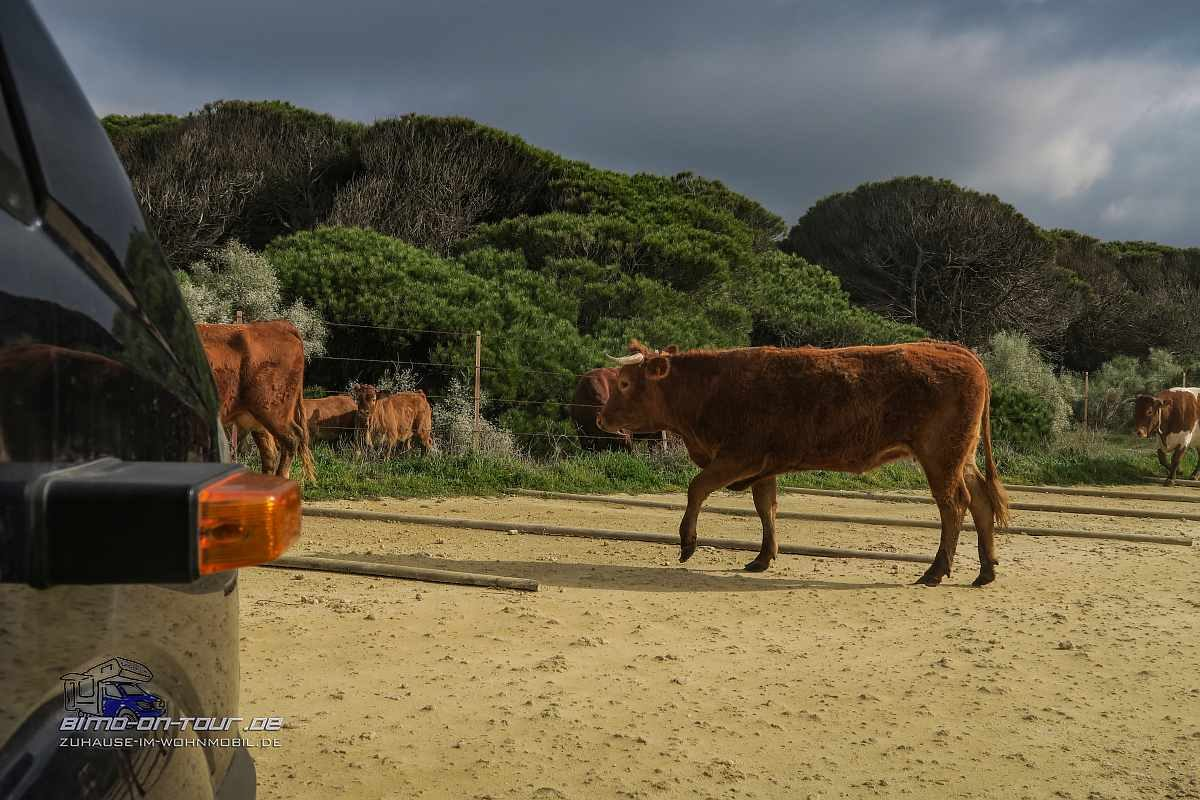 Kühe am Stellplatz