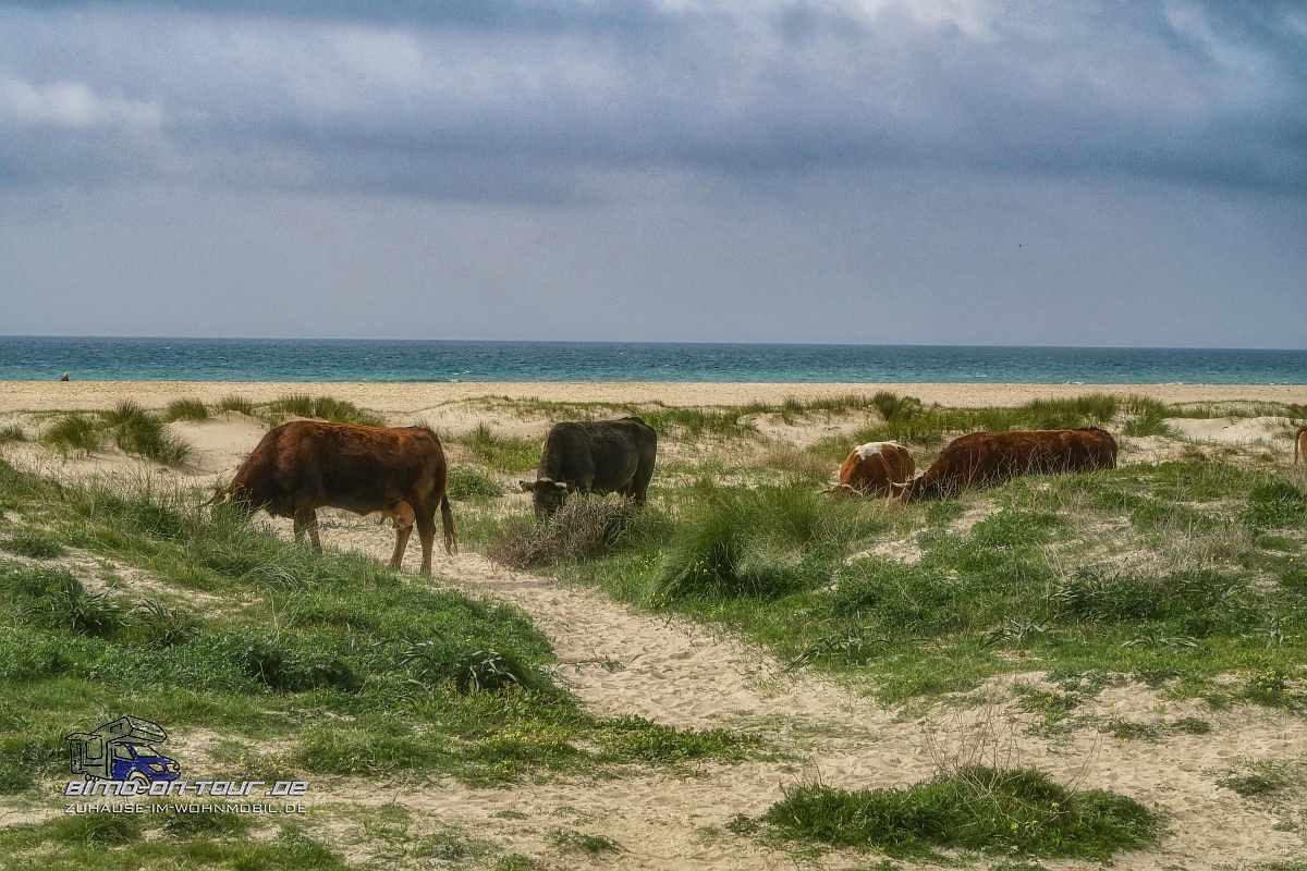 Kühe in Dünen