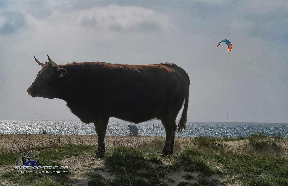 Kuh in Düne
