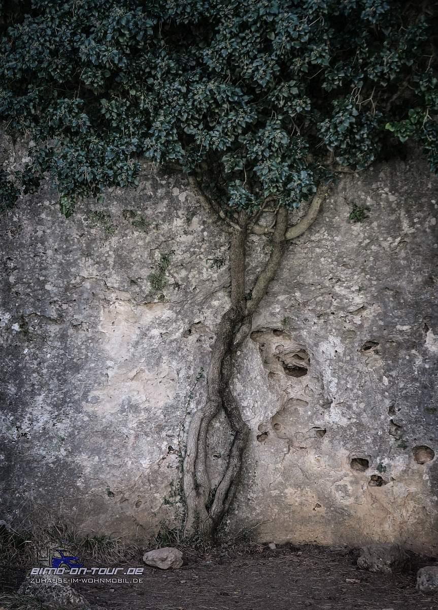 Ciudad Encantada-Baum im Fels