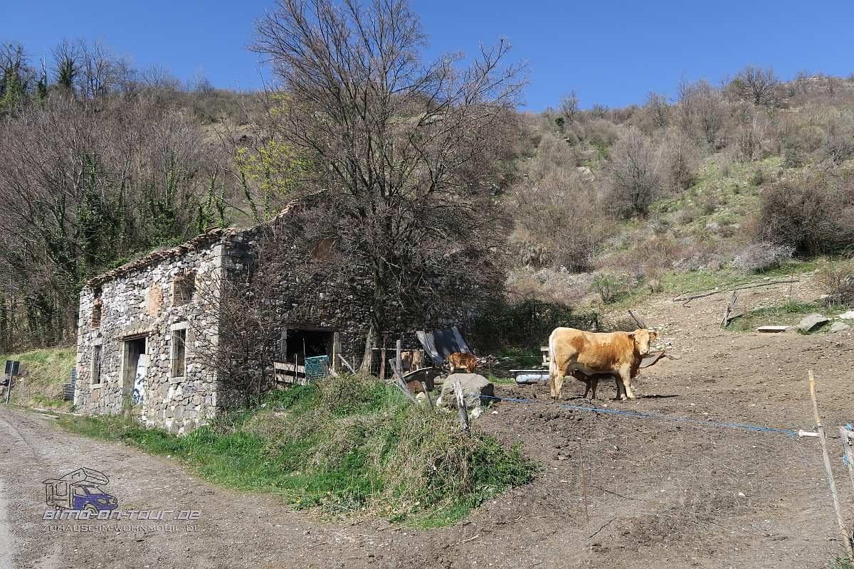Ruine mit Kuh