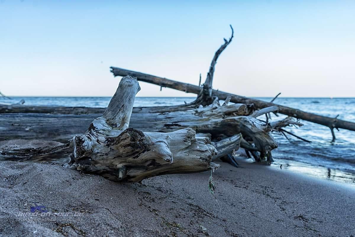 Kap Kolka-Bäume