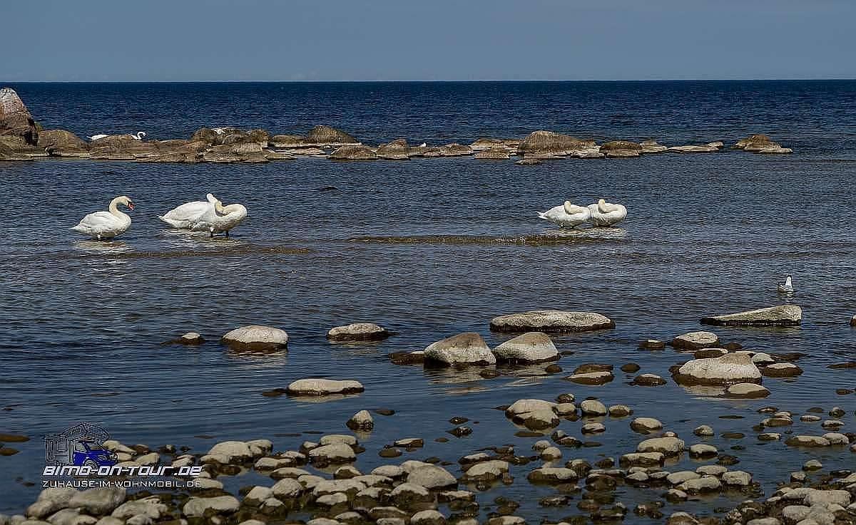 Ostsee Schwäne