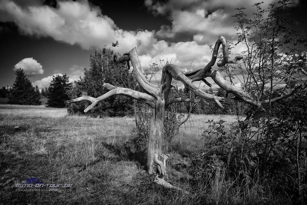 Kandel-Baum