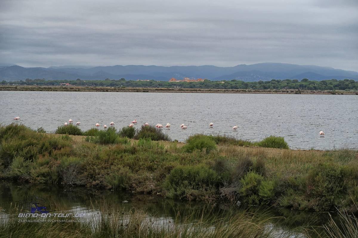 Giens-Flamingos