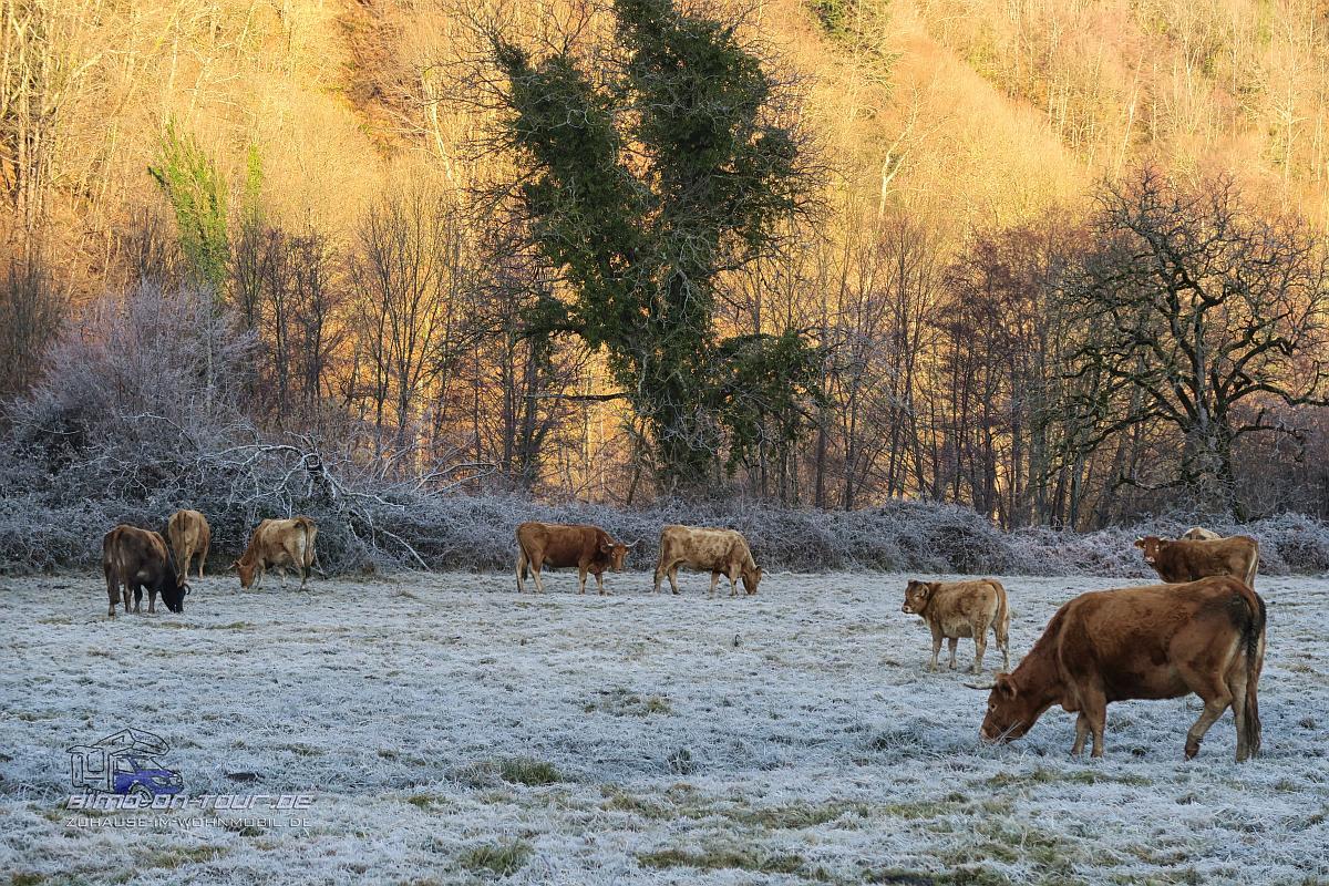 Rinder im Morgen
