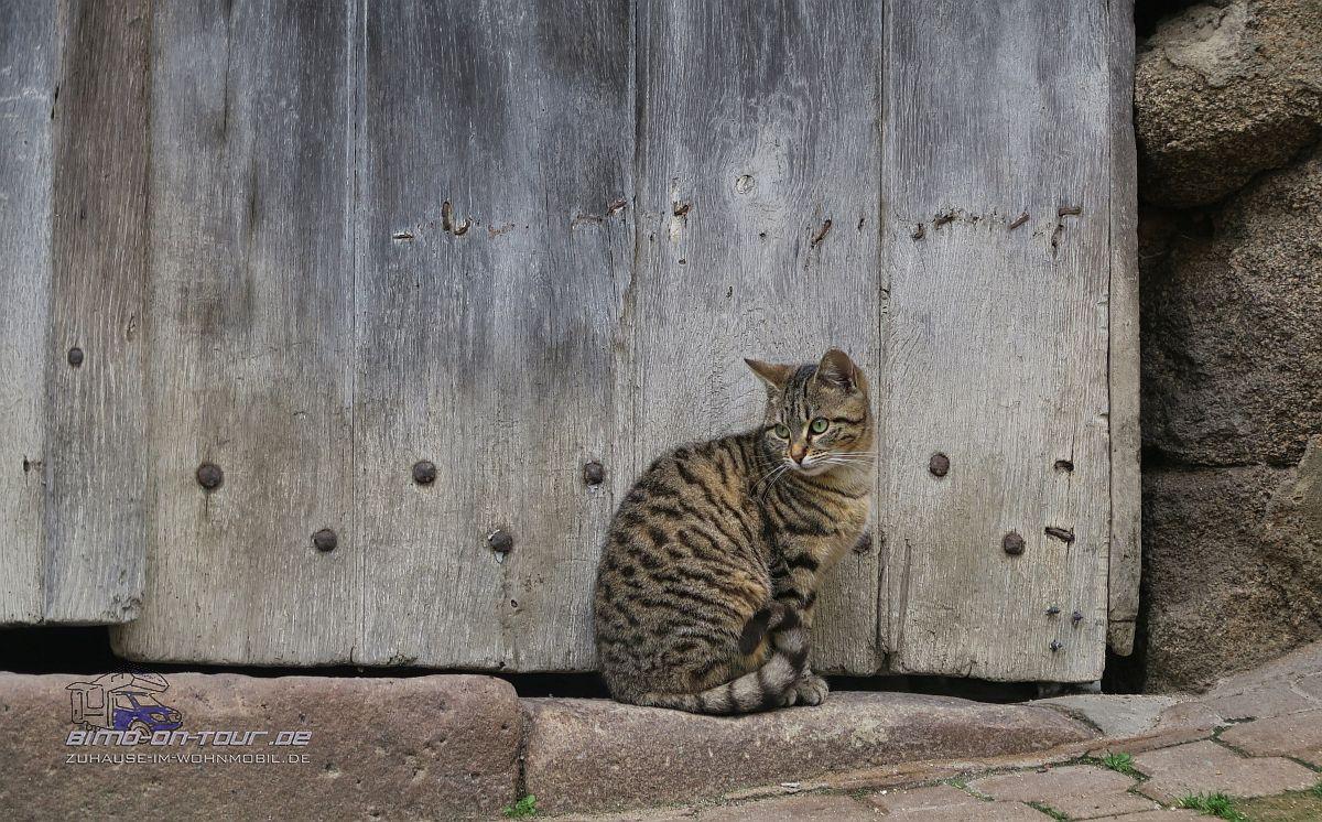 Confolens-Katze