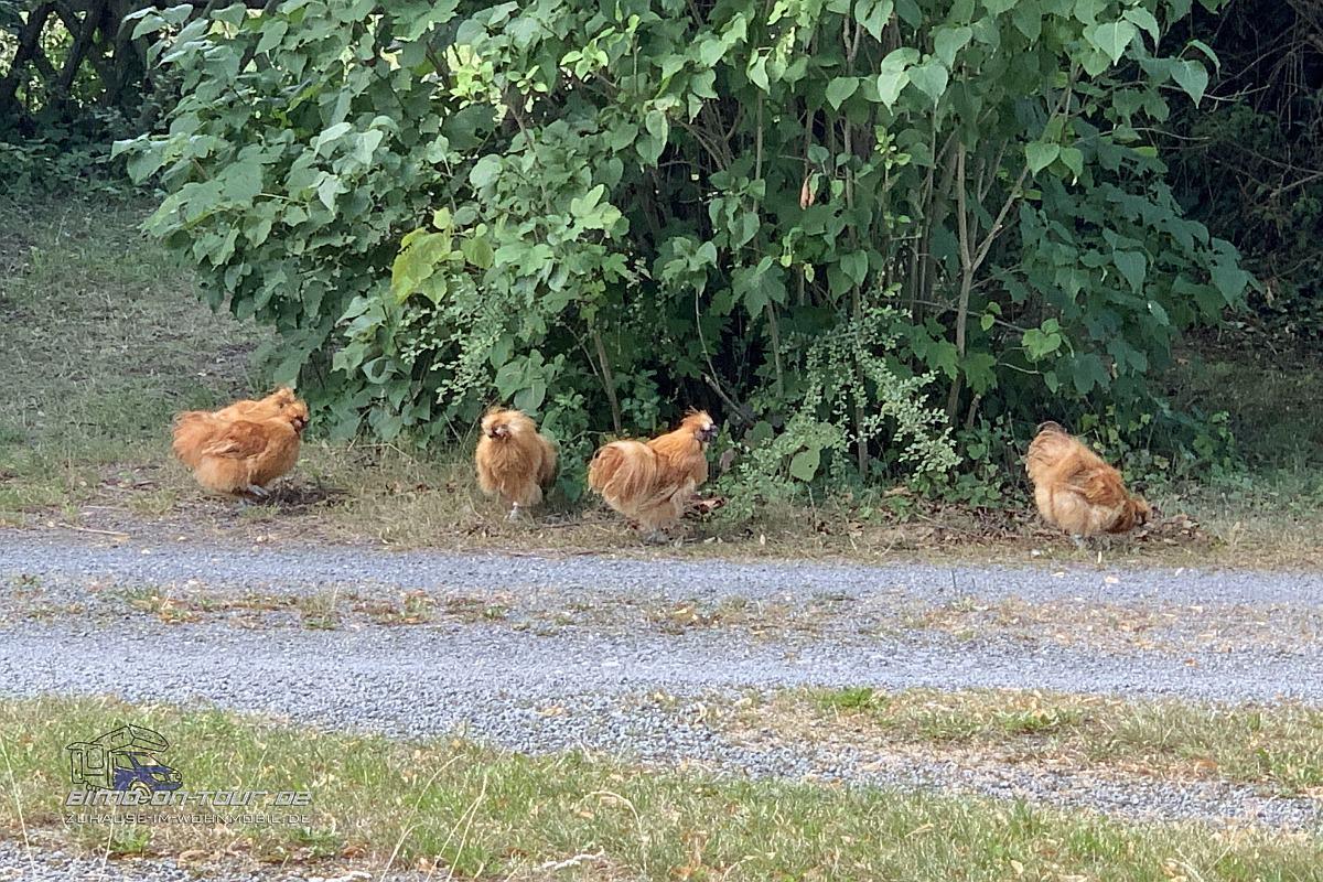Stellplatzhühner