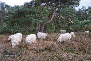 Blankes Flat-Schafe