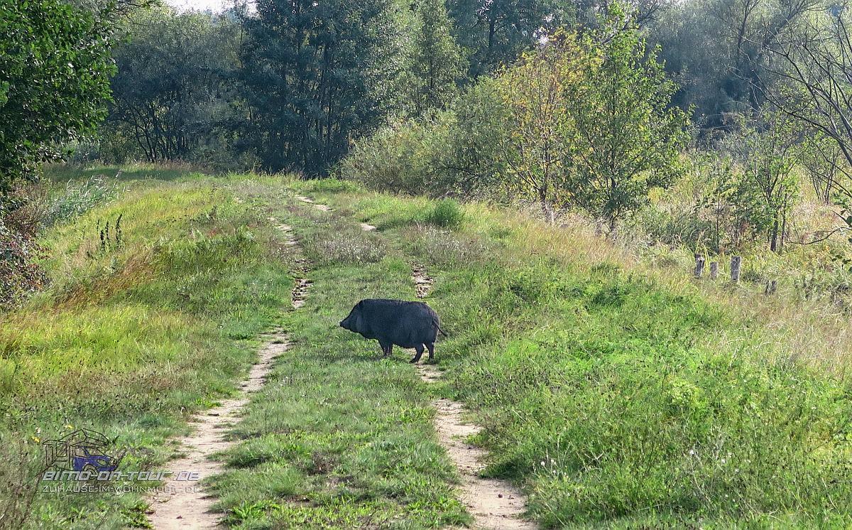 Ueckerdeich-Wildschwein