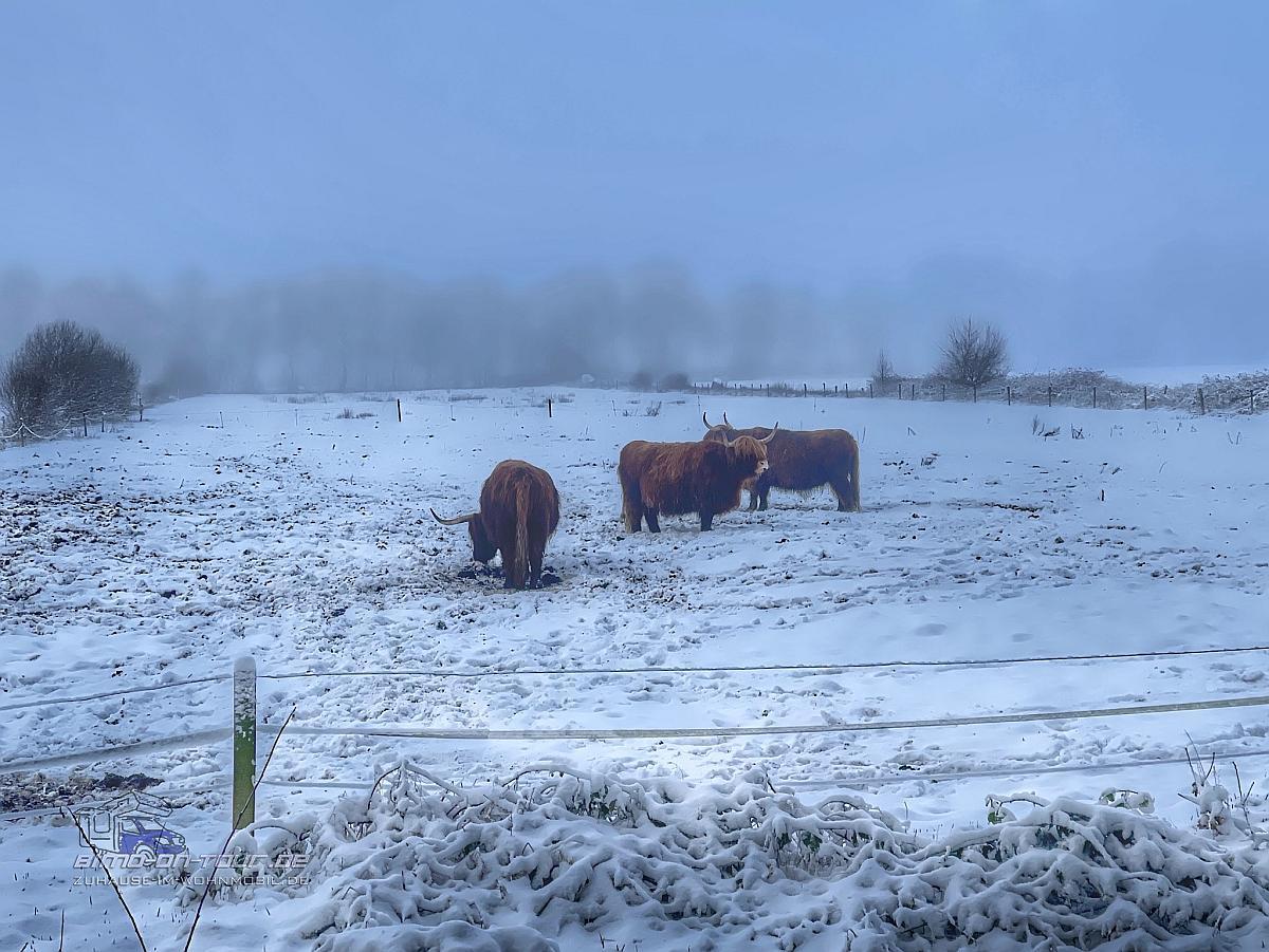 Ipweger Moor im Winter mit Galloways