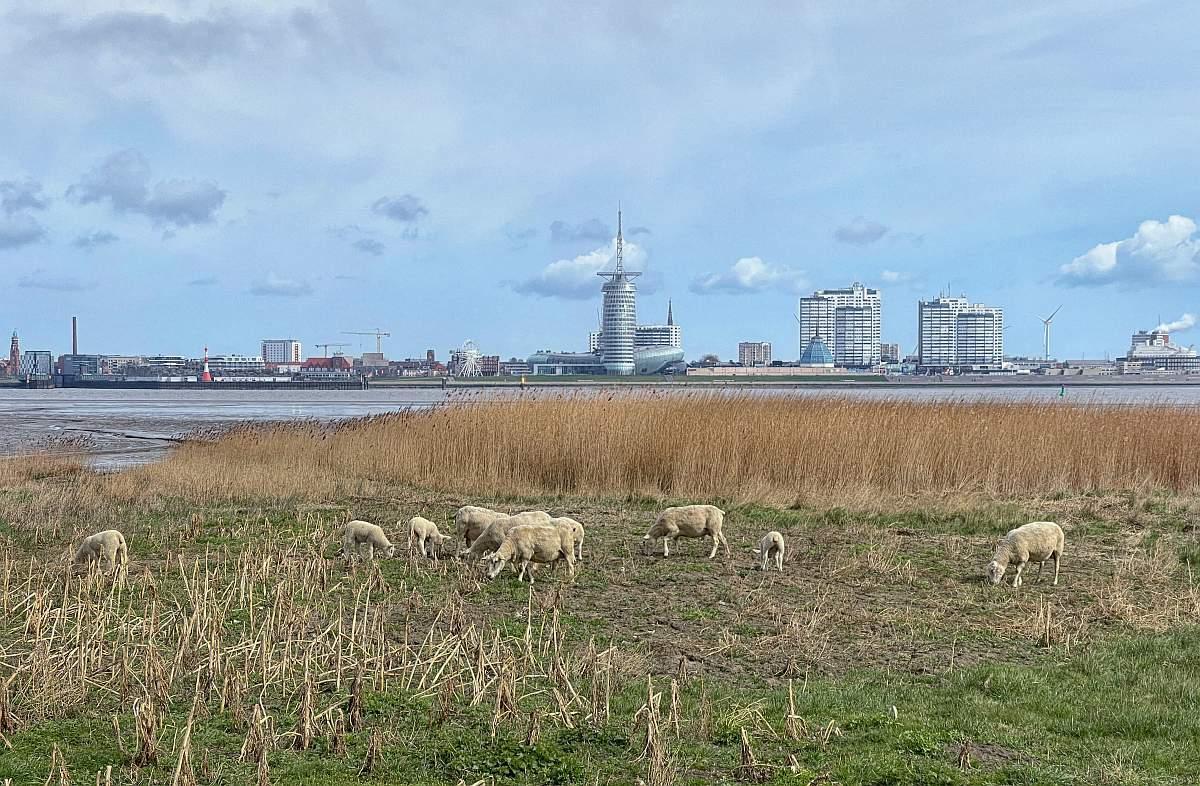 Bremerhaven mit Schafe