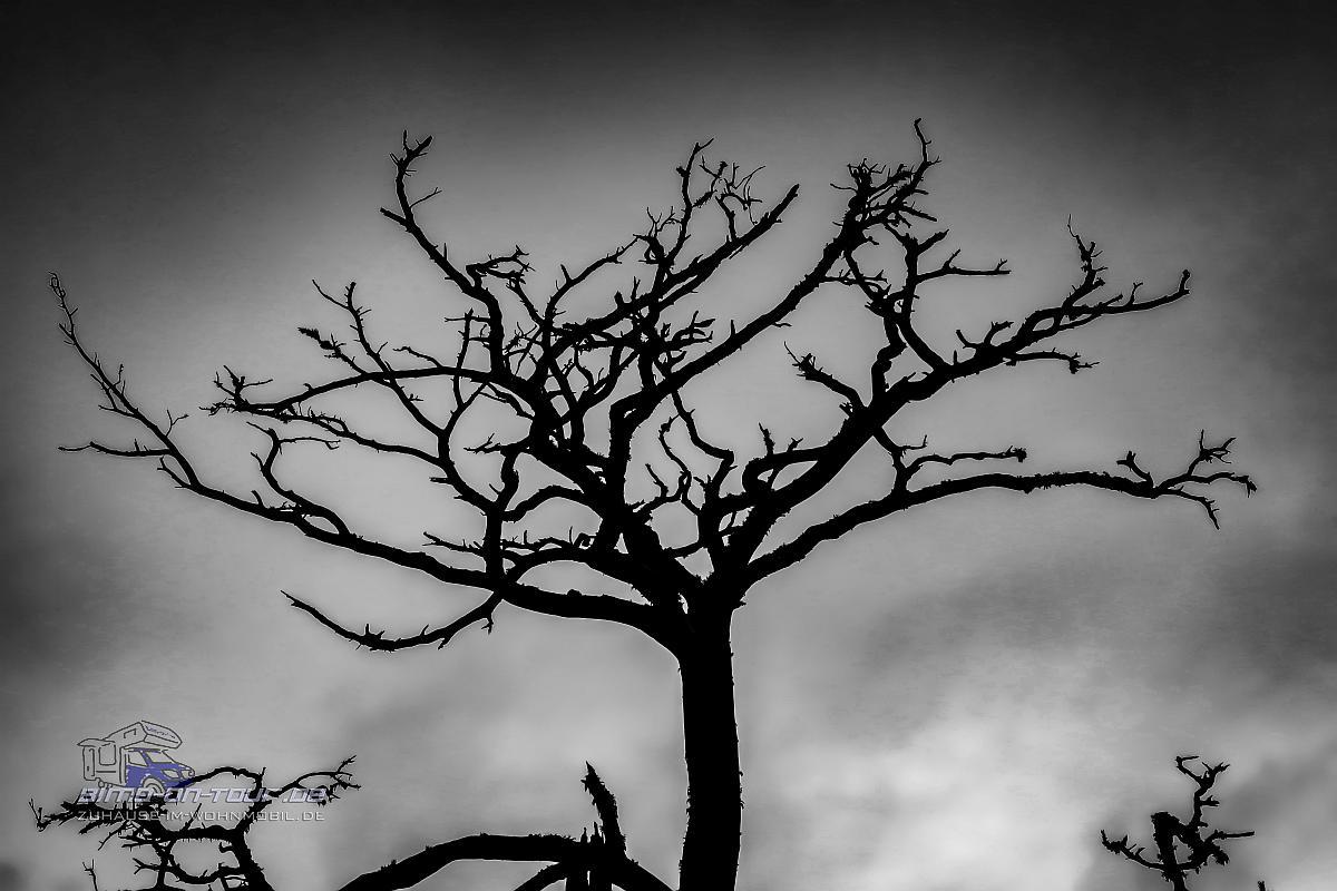 Perakuela-Baum